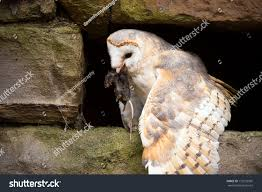 barn owl eating prey on pitted stock photo 173235905 shutterstock