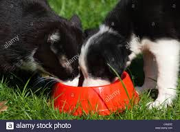black puppy and white puppy feeding stock photos u0026 black puppy and