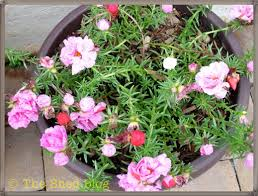 hanging basket plants for sun portulaca this plant thrives on neglect