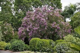 Tree With Purple Flowers Crape Myrtle Tree Ultimate Guide
