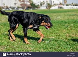 a toy australian shepherd beauceron with australian shepherd dog running after a toy in the