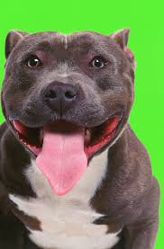 american pitbull terrier white with black spots what is the difference between a red nose pit bull and a blue nose