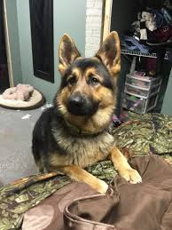 youtube lexus german shepherd begging for food my german shepherd pinterest german