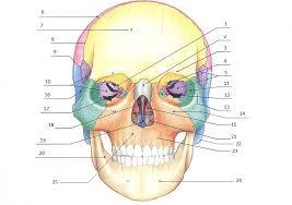 Anatomy Of The Human Skeleton Free Bones Of The Skull Printable Flash Cards Science