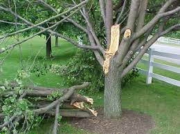 a list of the worst trees to plant in your yard