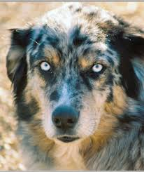 australian shepherd eye color genetics australian shepherd fun facts daily dog discoveries