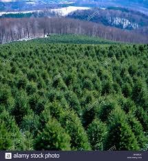 christmas christmas tree farms near me christmas tree farms near