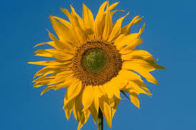 sunflower pictures types of sunflowers hgtv