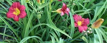 stella daylily daylily hemerocallis ruby stella