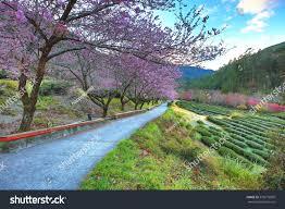 beautiful scenery pink cherry blossom trees stock photo 576279850