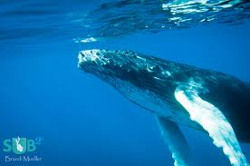 humpbacks of the silver bank scuba diving blog