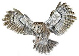 tawny owl tattoo sketch photo 2 photo pictures and sketches