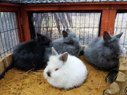 lion heads for sale baby lionheads rabbits for sale in clacton on sea expired