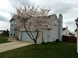 plant of the week ornamental cherry tree eagleson landscape co