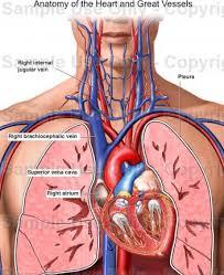 Heart Anatomy Youtube Human Heart Location Diagram Human Heart Diagram Anatomy Picture