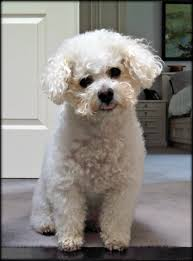 bichon frise intelligence breed of the month bichon frise west hill animal clinic
