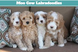 australian shepherd puppies for sale los angeles australian labradoodle puppies in california u2014 california