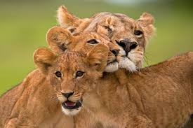lions game thanksgiving 2014 on this world lion day it is time for us to raise the flag