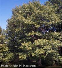 buy affordable scarlet oak trees at our nursery