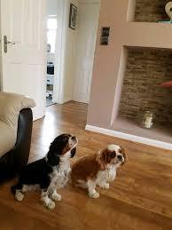 2 female boxer dogs together 2 female pedigree cavalier king charles spaniels in bridgend