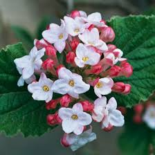Shrub With Fragrant Purple Flowers - the most beautiful spring flowering shrubs