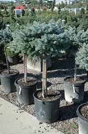 globe blue spruce tree form picea pungens globosa tree form