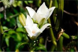 vanilla orchid orchid