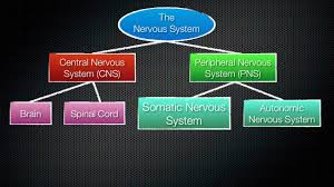 063 the divisions of the nervous system youtube