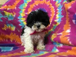 shichon haircuts zuchon puppy for sale in east earl pa adn 56056 on puppyfinder