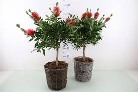 Lollipop Topiary Tree - callistemon citrinus splendens u0027lollipop topiary u0027 plant x 1