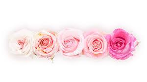 hd images of flowers rosas del corazón in search of the perfect rose rosas del corazón