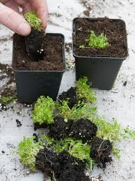 dividing herbs hgtv