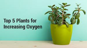 8 Houseplants That Can Survive by Lung Institute Top 5 Plants For Increasing Oxygen