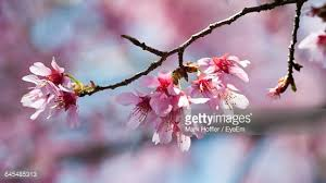usa jersey closeup of cherry blossom stock photo getty images