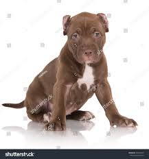 pitbull halloween background adorable chocolate brown pit bull puppy stock photo 200334209