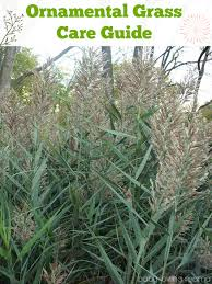 springtime ornamental grass care guide finding zest