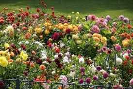 dahlia garden plans one place like in this garden what an