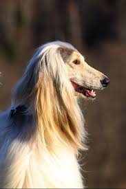 afghan hound in apartment afghan hound dog breed gallery