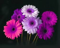 Gerbera Daisies What Type Of Flower Are You Gerber Daisies Gerbera Daisies And