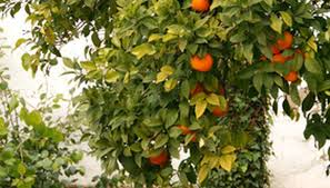 Fruit Tree Identification - the identification of the leaves of fruit trees garden guides
