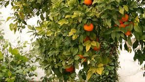 green mold on a citrus tree trunk garden guides