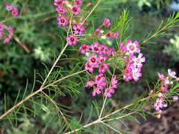 native edible plants australia geraldton wax flowers and leaves chamelaucium uncinatum native