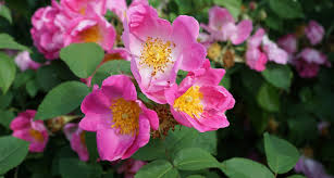 State Flower Of Montana - north dakota state flower the wild prairie rose proflowers blog