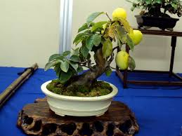 growing bonsai plants at home u2013 manggo youtube