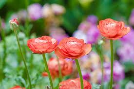 ranunculus flower ranunculus flower meaning flower meaning