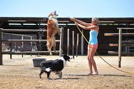 australian shepherd zucht deutschland australian shepherd ursprung und geschichte