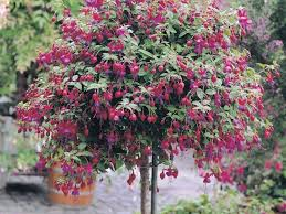 176 best fuchsias images on pinterest flowers plants and flower