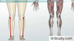 Which Cell Helps In Movement Of Bones Bones Of The Leg And Foot Names Anatomy U0026 Functions Video