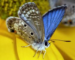 grants help miami blue butterfly conservation efforts