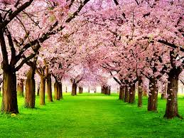 blossom trees desktop wallpapers spring cherry blossom trees wallpapers 1600 x